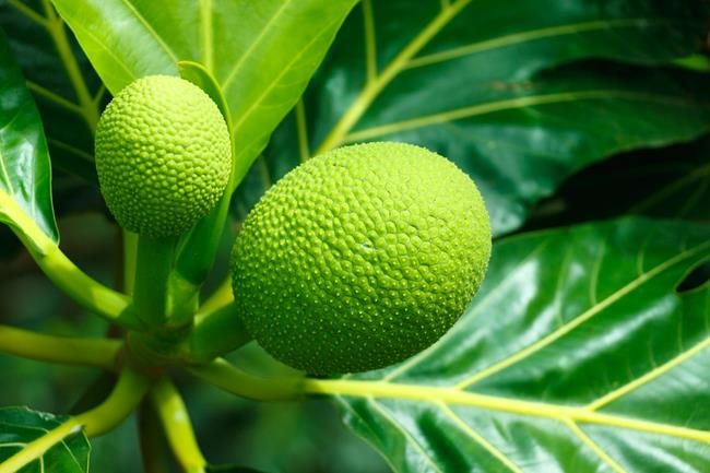 roasted breadfruit